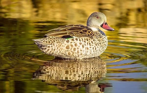 Чирок-свистунок-птица-Описание-особенности-виды-образ-жизни-и-среда-обитания-чирка-5
