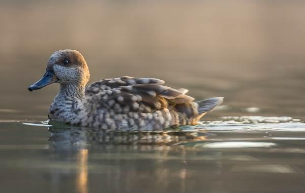 Чирок-свистунок-птица-Описание-особенности-виды-образ-жизни-и-среда-обитания-чирка-6