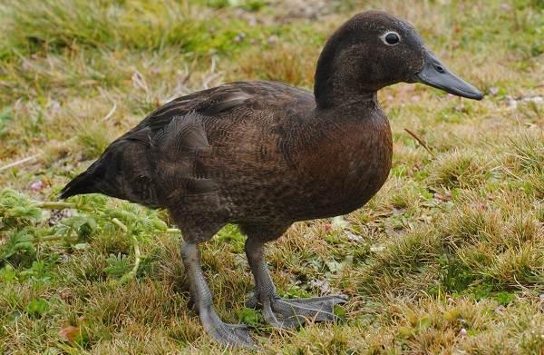Чирок-свистунок-птица-Описание-особенности-виды-образ-жизни-и-среда-обитания-чирка-7
