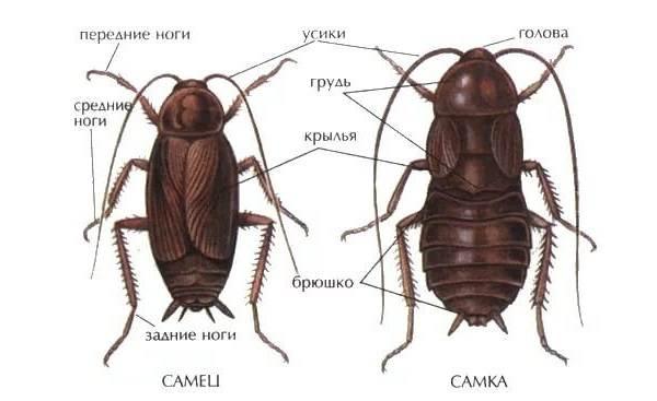 Чёрный-таракан-насекомое-Описание-особенности-виды-образ-жизни-и-среда-обитания-таракана-3