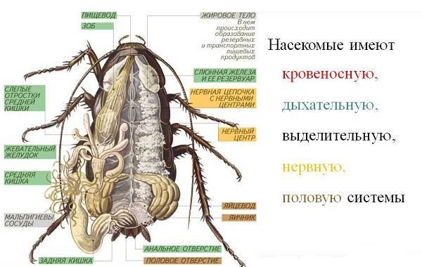 Чёрный-таракан-насекомое-Описание-особенности-виды-образ-жизни-и-среда-обитания-таракана-4
