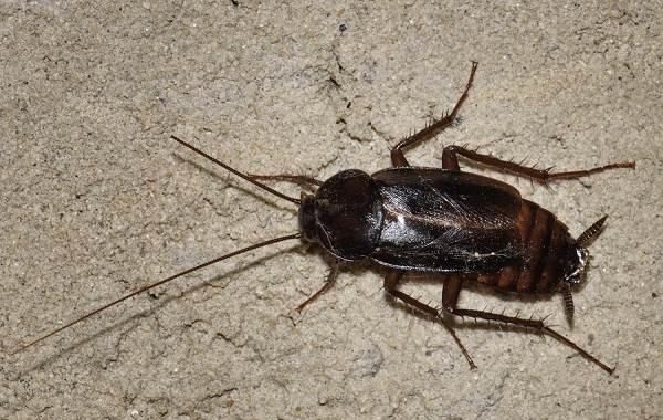Чёрный-таракан-насекомое-Описание-особенности-виды-образ-жизни-и-среда-обитания-таракана-5