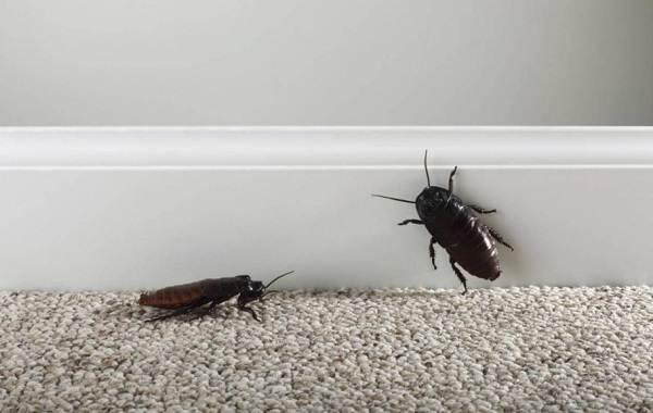 Чёрный-таракан-насекомое-Описание-особенности-виды-образ-жизни-и-среда-обитания-таракана-6
