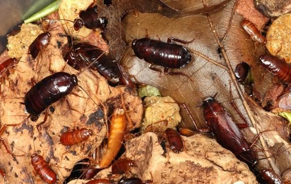 Чёрный-таракан-насекомое-Описание-особенности-виды-образ-жизни-и-среда-обитания-таракана-8