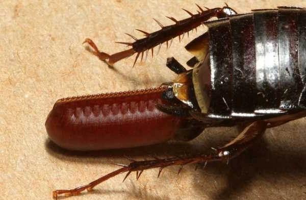 Чёрный-таракан-насекомое-Описание-особенности-виды-образ-жизни-и-среда-обитания-таракана-9