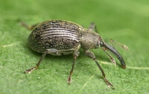 Долгоносик-жук-насекомое-Описание-особенности-виды-образ-жизни-и-борьба-с-долгоносиком-1