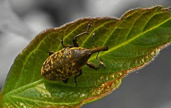 Долгоносик-жук-насекомое-Описание-особенности-виды-образ-жизни-и-борьба-с-долгоносиком-10