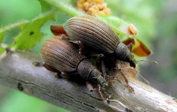 Долгоносик-жук-насекомое-Описание-особенности-виды-образ-жизни-и-борьба-с-долгоносиком-11
