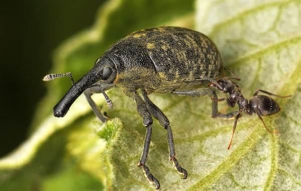 Долгоносик-жук-насекомое-Описание-особенности-виды-образ-жизни-и-борьба-с-долгоносиком-12