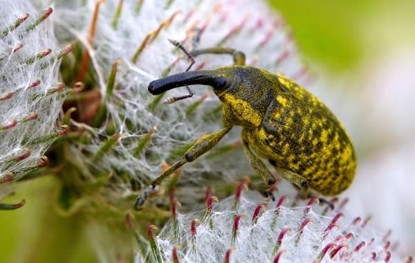 Долгоносик-жук-насекомое-Описание-особенности-виды-образ-жизни-и-борьба-с-долгоносиком-13