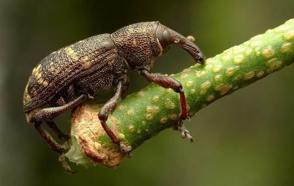 Долгоносик-жук-насекомое-Описание-особенности-виды-образ-жизни-и-борьба-с-долгоносиком-14