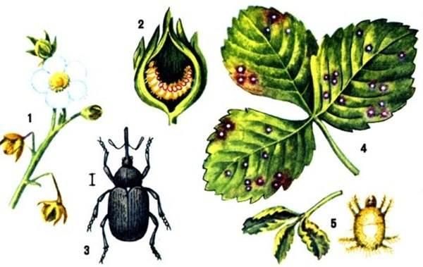 Долгоносик-жук-насекомое-Описание-особенности-виды-образ-жизни-и-борьба-с-долгоносиком-16