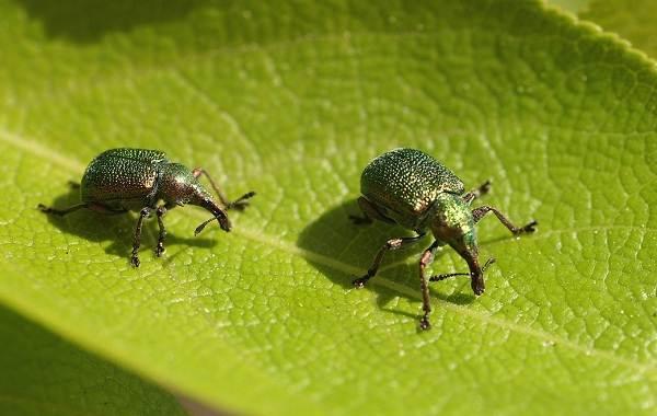 Долгоносик-жук-насекомое-Описание-особенности-виды-образ-жизни-и-борьба-с-долгоносиком-17