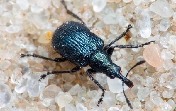 Долгоносик-жук-насекомое-Описание-особенности-виды-образ-жизни-и-борьба-с-долгоносиком-2