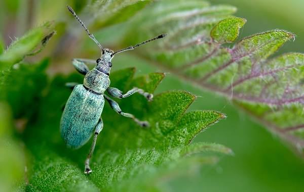 Долгоносик-жук-насекомое-Описание-особенности-виды-образ-жизни-и-борьба-с-долгоносиком-6