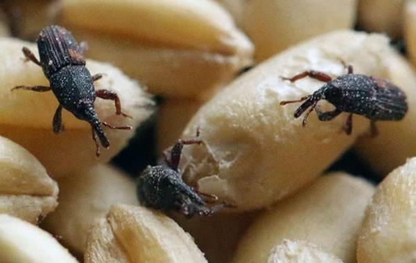 Долгоносик-жук-насекомое-Описание-особенности-виды-образ-жизни-и-борьба-с-долгоносиком-7