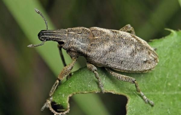 Долгоносик-жук-насекомое-Описание-особенности-виды-образ-жизни-и-борьба-с-долгоносиком-8