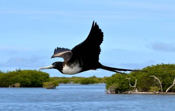 Фрегат-птица-Описание-особенности-виды-образ-жизни-и-среда-обитания-фрегатов-10