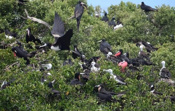 Фрегат-птица-Описание-особенности-виды-образ-жизни-и-среда-обитания-фрегатов-12