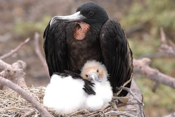 Фрегат-птица-Описание-особенности-виды-образ-жизни-и-среда-обитания-фрегатов-13