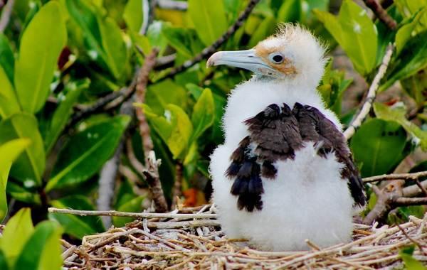 Фрегат-птица-Описание-особенности-виды-образ-жизни-и-среда-обитания-фрегатов-14