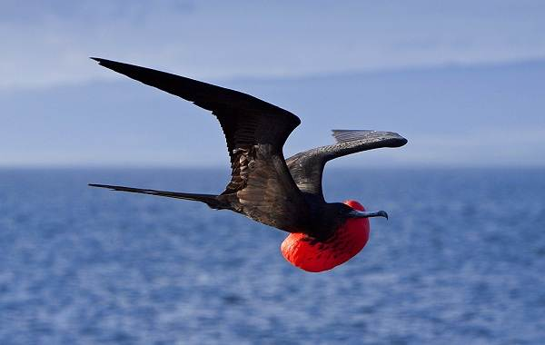 Фрегат-птица-Описание-особенности-виды-образ-жизни-и-среда-обитания-фрегатов-17