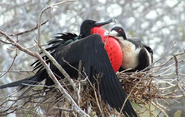 Фрегат-птица-Описание-особенности-виды-образ-жизни-и-среда-обитания-фрегатов-2