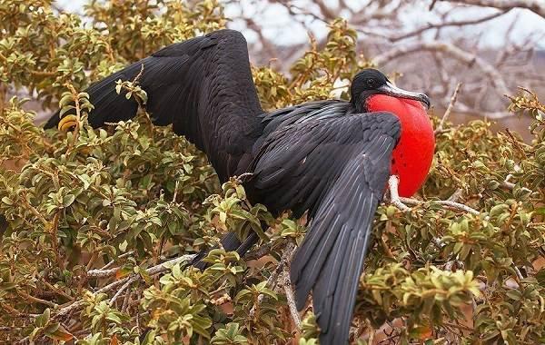 Фрегат-птица-Описание-особенности-виды-образ-жизни-и-среда-обитания-фрегатов-3