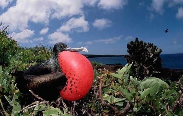 Фрегат-птица-Описание-особенности-виды-образ-жизни-и-среда-обитания-фрегатов-4