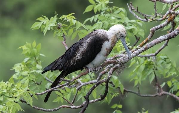 Фрегат-птица-Описание-особенности-виды-образ-жизни-и-среда-обитания-фрегатов-5
