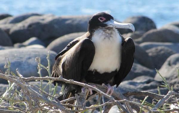 Фрегат-птица-Описание-особенности-виды-образ-жизни-и-среда-обитания-фрегатов-6