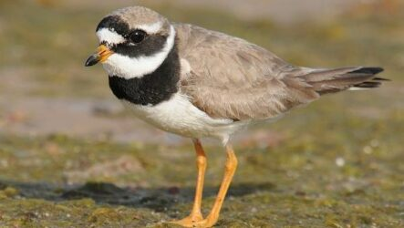 Галстучник птица. Описание, особенности, виды, образ жизни и среда обитания галстучника