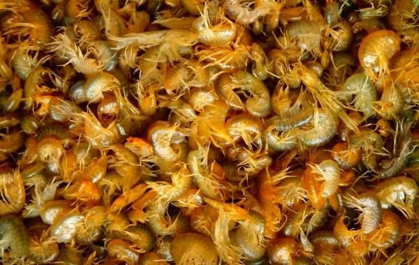 Гаммарус-рачок-Описание-особенности-виды-образ-жизни-и-среда-обитания-гаммаруса-8