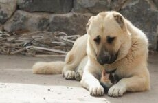 Гампр порода собак. Описание, особенности, виды, уход и цена гампра