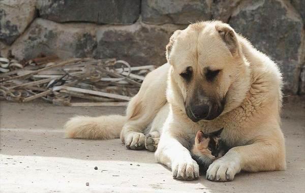 Гампр-порода-собак-Описание-особенности-виды-уход-и-цена-гампра-1
