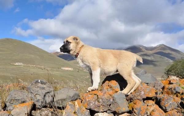 Гампр-порода-собак-Описание-особенности-виды-уход-и-цена-гампра-10
