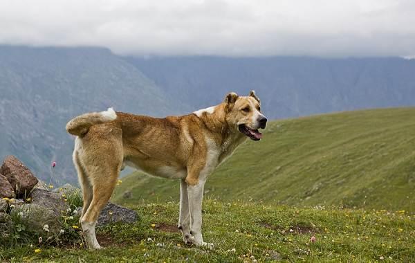Гампр-порода-собак-Описание-особенности-виды-уход-и-цена-гампра-11