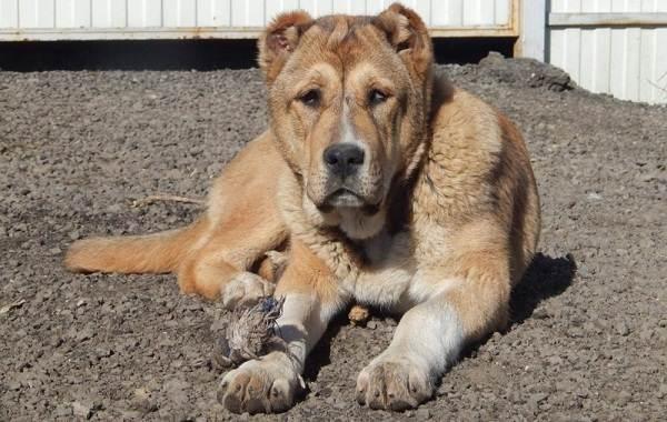 Гампр-порода-собак-Описание-особенности-виды-уход-и-цена-гампра-12