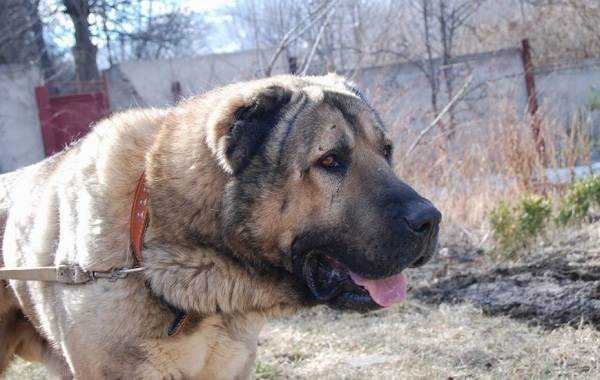 Гампр-порода-собак-Описание-особенности-виды-уход-и-цена-гампра-13