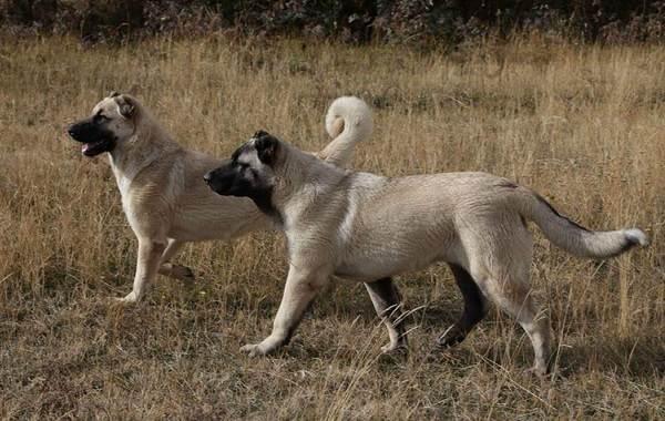 Гампр-порода-собак-Описание-особенности-виды-уход-и-цена-гампра-2