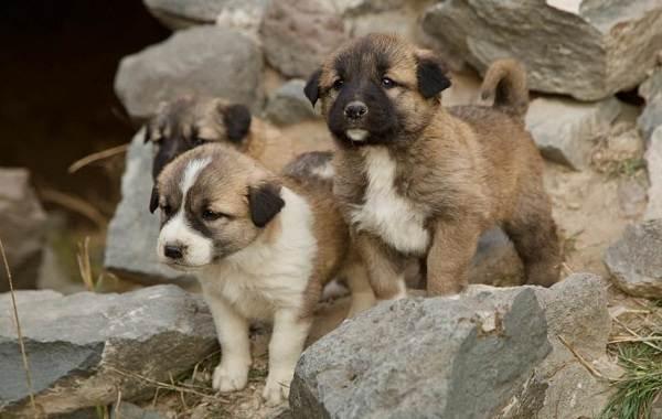 Гампр-порода-собак-Описание-особенности-виды-уход-и-цена-гампра-3