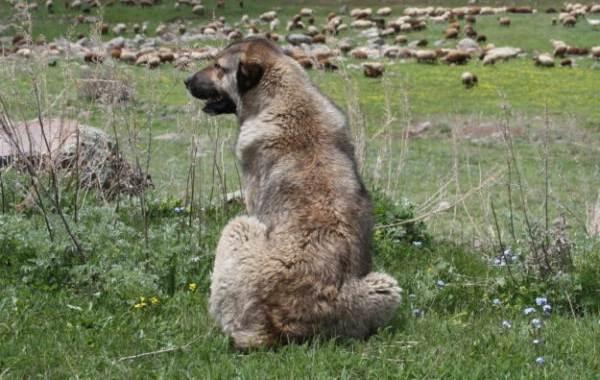 Гампр-порода-собак-Описание-особенности-виды-уход-и-цена-гампра-4