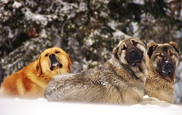 Гампр-порода-собак-Описание-особенности-виды-уход-и-цена-гампра-5