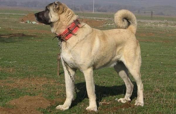 Гампр-порода-собак-Описание-особенности-виды-уход-и-цена-гампра-6
