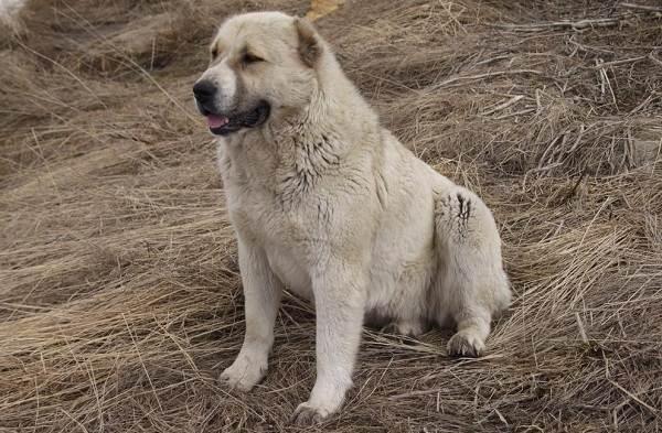 Гампр-порода-собак-Описание-особенности-виды-уход-и-цена-гампра-9