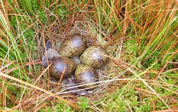 Гаршнеп-птица-Описание-особенности-виды-образ-жизни-и-среда-обитания-гаршнепа-13