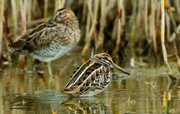 Гаршнеп-птица-Описание-особенности-виды-образ-жизни-и-среда-обитания-гаршнепа-2