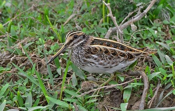 Гаршнеп-птица-Описание-особенности-виды-образ-жизни-и-среда-обитания-гаршнепа-3