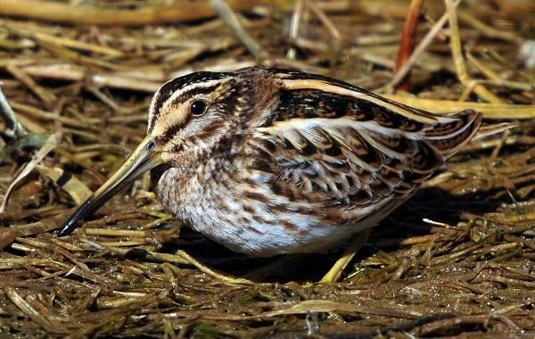 Гаршнеп-птица-Описание-особенности-виды-образ-жизни-и-среда-обитания-гаршнепа-4