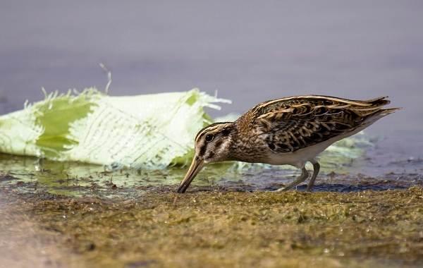 Гаршнеп-птица-Описание-особенности-виды-образ-жизни-и-среда-обитания-гаршнепа-6